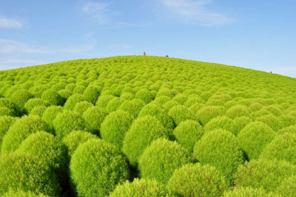 Greenkochia