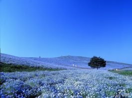 Hitachi Seaside Park -2