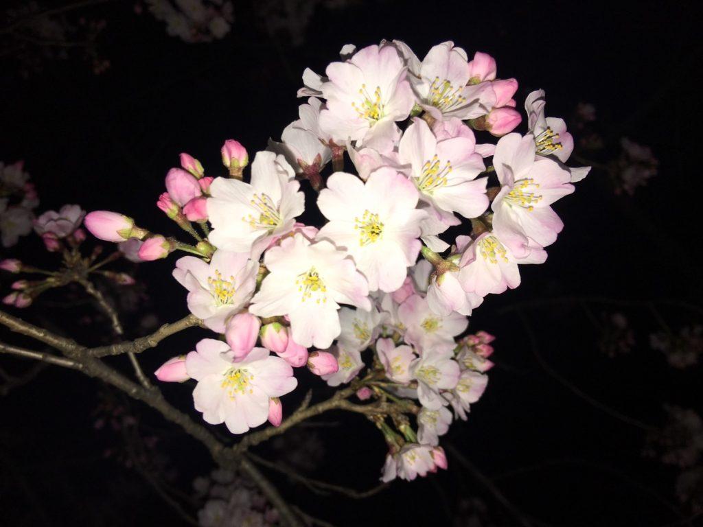 Mulai Mekarnya Sakura Di Tokyo Maret 2017 Liburan Ke Jepang