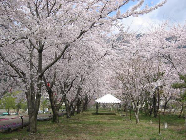 sakura kawaguchiko 1