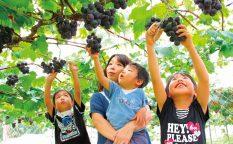 Fruit-Picking-Japan-1