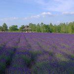 Tomita-lavenders