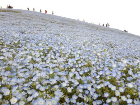 credit photo : Hitachi Seaside Park