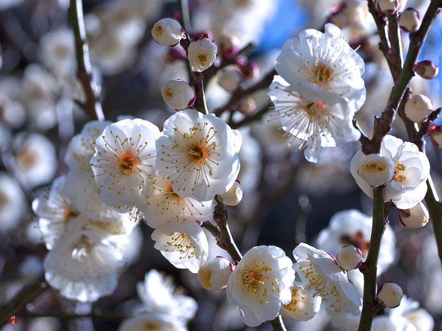 Sering Salah Ini Dia Perbedaan Antara Bunga Sakura Persik Dan Plum Liburan Ke Jepang