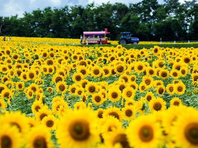 hokuryuu sunflower