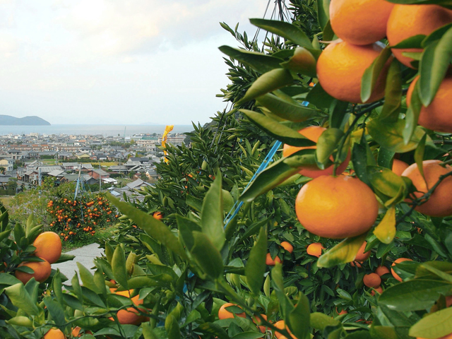 jeruk shikoku