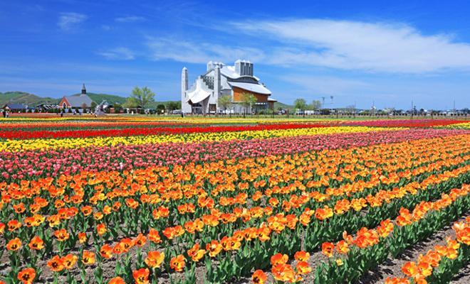 bunga tulip3