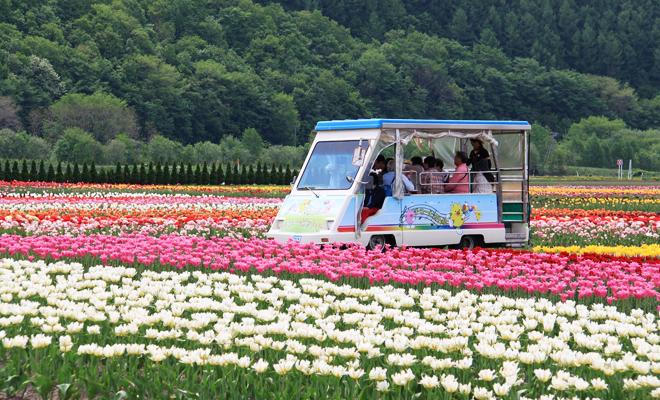 bunga tulip4