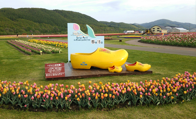 bunga tulip5